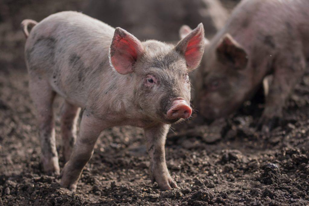 Eleveur porcin JACVL