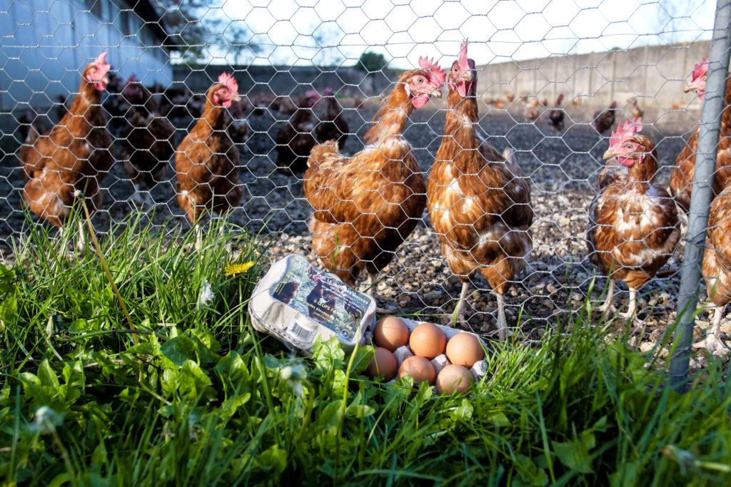 Eleveur de poules pondeuses